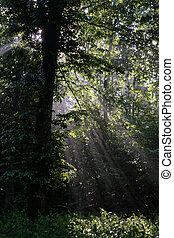 Early morning sun shining through hornbeam branches at foggy...
