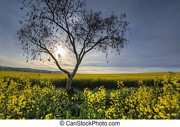 Early morning sunlight filters across canola fields