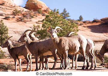 Bighorn Sheep - Early morning sunshine on a group of female...