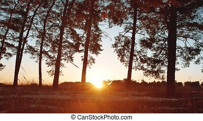Early morning with sunrise in pine forest. beautiful pine forest in winter the sun shines through trees nature landscape tourism travel