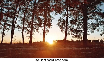 Early morning with sunrise in pine forest. beautiful pine...