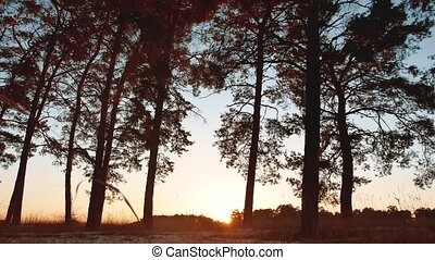 Early morning with sunrise in pine forest. beautiful pine forest in winter the sun shines through trees nature landscape travel tourism