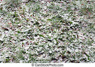 Early snow on red and yellow leaves in autumn