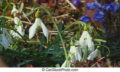 Early snowdrop in wind - Snow drop in wind, early spring