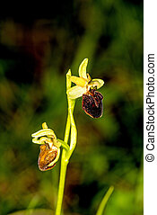 early spider-orchid, flower