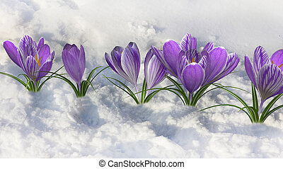 Early Spring presenting with purple crocus.