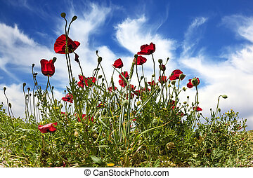 Anemones - Early spring in Israel. Anemones of the family of...