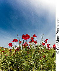 Field of blooming red anemones