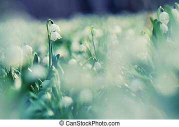 Early spring snowflake wild flowers