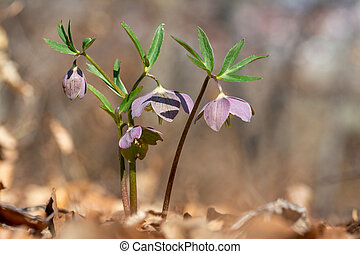 Early spring spring forest blooms Helleborus purpurascens.