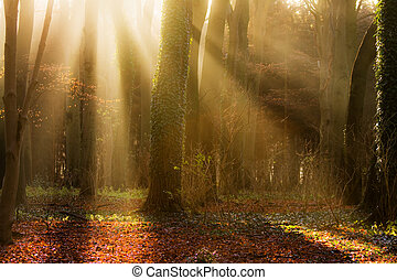 early sun in the woods - sumbeams between the trees in...