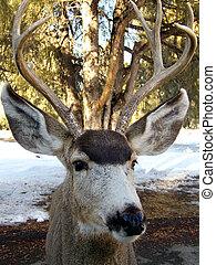 Early Winter Buck - Friendly male mule deer out for a walk ...