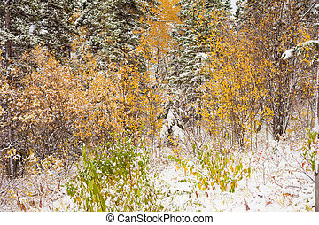Early snow in still fall-colored boreal forest