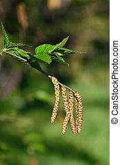 Earrings cherry Birch (Betula lenta)