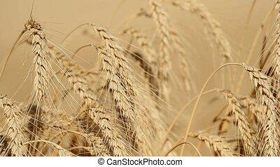 ears, созревший, пшеница, поле