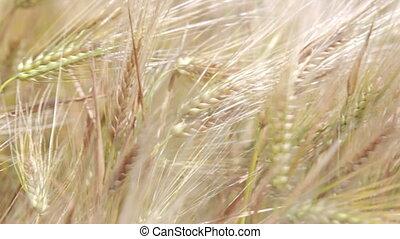 ears, созревший, пшеница