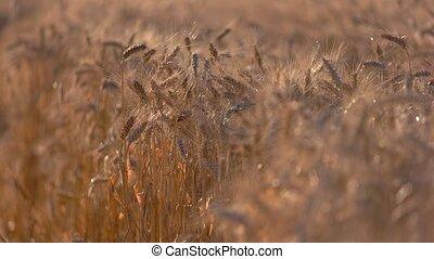 Ears in the field.