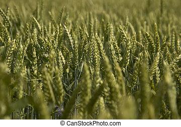 Ears of barley in a field