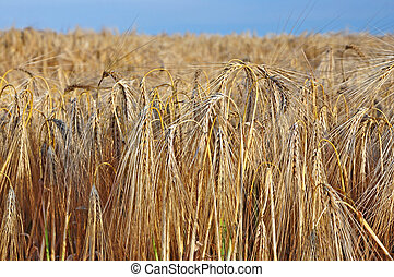 Ears of barley in the field before harvest.