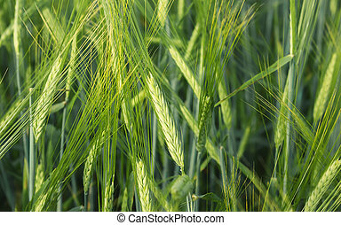 Ears Of Barley In The Field Closeup
