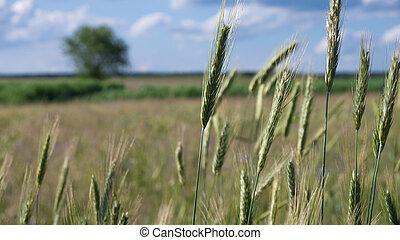 Ears of barley on a field