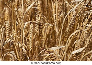 Ears of barley on the field in summer