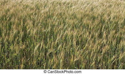 Ears of cereals in the field move wholesale wind action in...