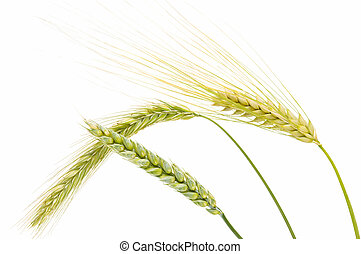 ear of barley, wheat and rye on white background