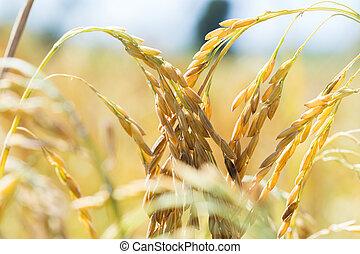 Ears of corn in a field