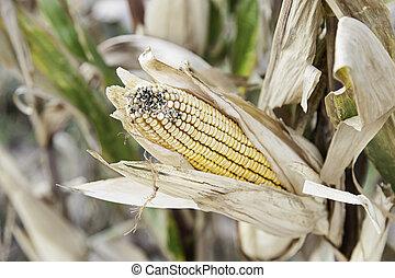 Ears of corn on a farm