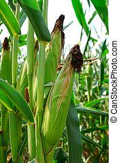 Ears of Corn