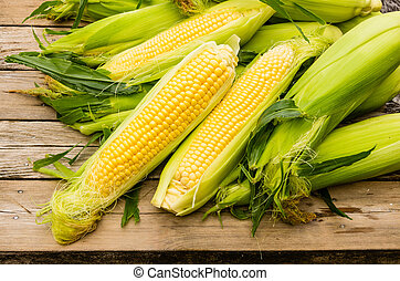Ears of freshly harvested yellow sweet corn