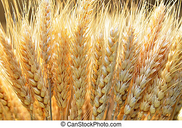 Ears of golden wheat close up