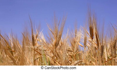 Ears of grain on the sky background