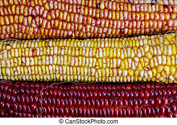 Ears of Indian Maize
