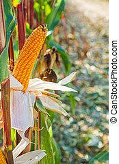 ears of maize corn