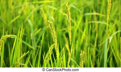 Ears of rice swinging in the wind (close-up)