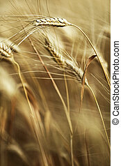 Ears of ripe barley ready for harvest growing in a farm ...