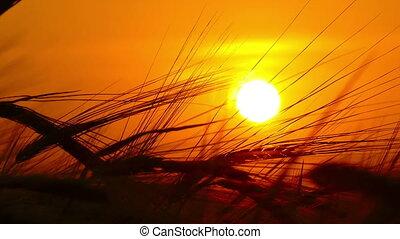 ears of ripe wheat against setting sun