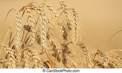 Ears of ripe wheat grow in the field