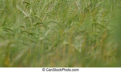 ears of ripe wheat in a field