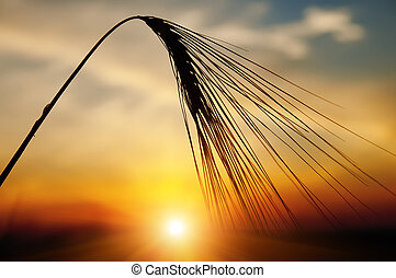 ears of ripe wheat on a background a sun in the evening