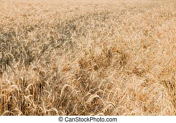 Ears of ripe wheat on a field