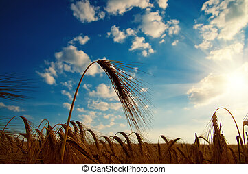 ears of ripe wheat with sun in the evening