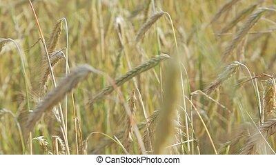 Ears of Rye - Close up shot. Yellow ears of rye