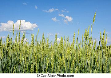 Ears of wheat against blue sky