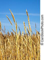 Ears of wheat against the blue sky