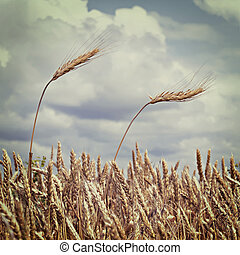 ears of wheat against the sky with