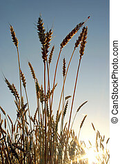 Ears of wheat before harvest with insect