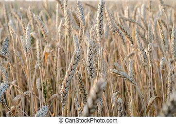 ears of wheat close up on a field at sunrise.